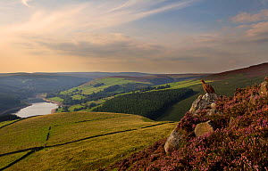 Red grouse (Lagopus lagopus scoticus) sitting on a gritstone boulder looking out over Derwent Valley, Peak District NP, UK, September 2010  -  Ben Hall / 2020VISION