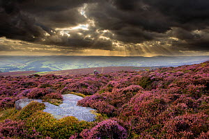Scenic view of moorland habitat showing flowering heather (Ericaceae sp) in foreground, Peak District NP, August 2011 - Ben Hall / 2020VISION