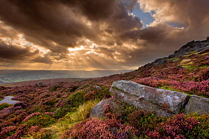 Scenic view of moorland habitat at Stanage Edge, with flowering heather (Ericaceae sp) and rock formation in foreground, Peak District NP, August 2011  -  Ben Hall / 2020VISION