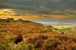 Red grouse (Lagopus lagopus scoticus) on heather moorland, Peak District NP, UK, September 2011  -  Ben Hall / 2020VISION