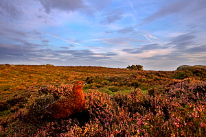 Portrait of a Red grouse (Lagopus lagopus scoticus) amongst tufts of flowering heather (Ericaceae sp) on moorland, Peak District NP, UK, September 2011  -  Ben Hall / 2020VISION