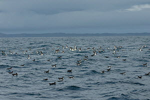 Raft of manx shearwaters (Puffinus puffinus) out to sea, some beginning to take flight, Coll, Inner Hebrides, Scotland, UK, July 2011  -  Chris Gomersall / 2020VISION