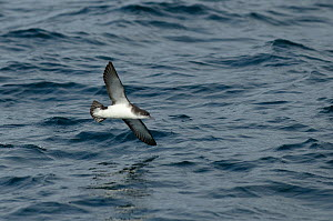 Manx shearwater (Puffinus puffinus) adult in flight over the sea, Coll, Inner Hebrides, Scotland, UK, July 2011  -  Chris Gomersall / 2020VISION