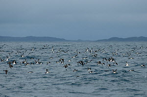 Flock of manx shearwaters (Puffinus puffinus) in flight over the sea, Coll, Inner Hebrides, Scotland, UK, July 2011  -  Chris Gomersall / 2020VISION