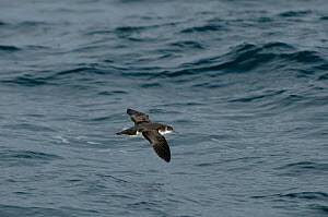 Manx shearwater (Puffinus puffinus) adult in flight over the sea, Coll, Inner Hebrides, UK, July 2011  -  Chris Gomersall / 2020VISION
