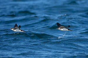 Manx shearwaters (Puffinus puffinus) flying over the sea, Isle of Coll, Inner Hebrides, Scotland, UK, July 2011  -  Chris Gomersall / 2020VISION