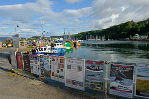 Tobermory harbour, with posters advertising wildlife watching cruises, Mull, Inner Hebrides, Scotland, July 2011.  -  Chris Gomersall / 2020VISION