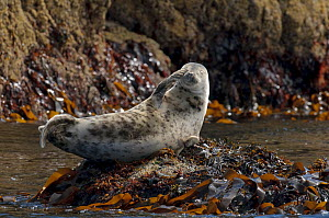Atlantic grey seal (Halichoerus grypus) hauled out on rocks at the Cairns of Coll, with flipper in the air and eyes closed, Inner Hebrides, Scotland, UK, July 2011 - Chris Gomersall / 2020VISION