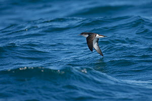 Manx shearwater (Puffinus puffinus) adult in flight over sea, near the Isle of Coll, Inner Hebrides, Scotland, UK, July 2011  -  Chris Gomersall / 2020VISION