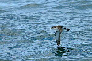Manx shearwater (Puffinus puffinus) adult in flight over the sea, near the Isle of Coll, Inner Hebrides, Scotland, UK, July 2011  -  Chris Gomersall / 2020VISION