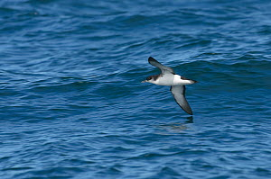 Manx shearwater (Puffinus puffinus) adult in flight over the sea, with wing almost touching the water, near the Isle of Coll, Inner Hebrides, Scotland, UK, July 2011  -  Chris Gomersall / 2020VISION