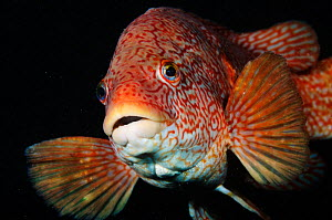Portrait of Ballan wrasse (Labrus bergylta), St Abbs (St Abbs and Eyemouth Voluntary Marine Reserve), Berwickshire, Scotland, UK, October 2011. Did you know? Ballan wrasses spend the first 8 years of...  -  Linda Pitkin / 2020VISION