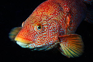 Portrait of Ballan wrasse (Labrus bergylta), St Abbs (St Abbs and Eyemouth Voluntary Marine Reserve), Berwickshire, Scotland, UK, October 2011  -  Linda Pitkin / 2020VISION