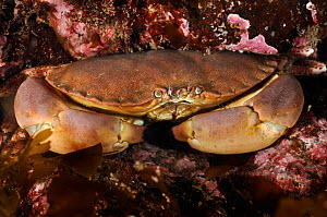 Edible crab (Cancer pagurus), St Abbs (St Abbs and Eyemouth Voluntary Marine Reserve), Berwickshire, Scotland, UK, August 2011. Did you know? A large female Edible crab can carry up to 20 million eggs...  -  Linda Pitkin / 2020VISION