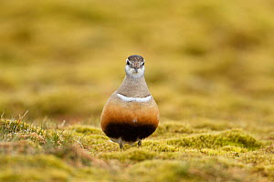 Adult female Eurasian dotterel (Charadrius morinellus) in breeding habitat on upland plateau of Grampian mountains, Cairngorms NP, Scotland, UK, May 2011  -  Mark Hamblin / 2020VISION