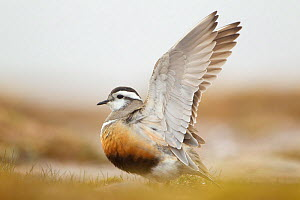Adult Eurasian dotterel (Charadrius morinellus) female with wings raised in the air, in breeding habitat on upland plateau of Grampian mountains, Cairngorms NP, Scotland, UK, May 2011 - Mark Hamblin / 2020VISION