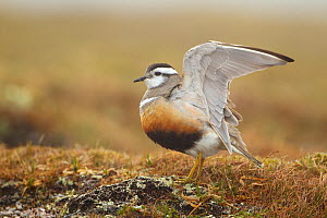 Adult Eurasian dotterel (Charadrius morinellus) female with wings partially raised in the air, in breeding habitat on upland plateau of Grampian mountains, Cairngorms NP, Scotland, UK, May 2011 - Mark Hamblin / 2020VISION