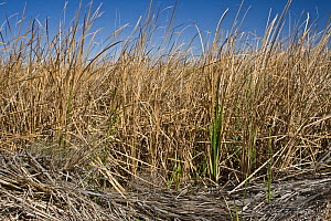 A dense cattail marsh at the Sonny Bono Salton Sea National Wildlife Refuge, prior to being burned for habitat management to benefit the endangered Yuma Clapper Rail (Rallus longirostris yumanensis).... - Jenny E. Ross