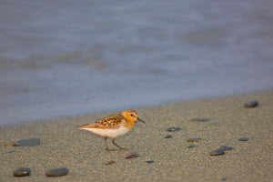 Red /  Rufous-necked Stint (Calidris ruficollis) on the shoreline of Verkhoturova Island, Bering Sea, Russia.  -  Jenny E. Ross