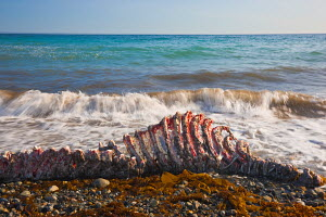 Carcass of a recently-killed Pacific Walrus (Odobenus rosmarus divergens) on beach. Chukotka, Russia, August.  -  Jenny E. Ross