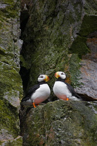 Horned Puffin (Fratercula corniculata) pair resting on a cliff. Medny Island, Commander Islands (Komandorsky Islands), Russia, July. - Jenny E. Ross