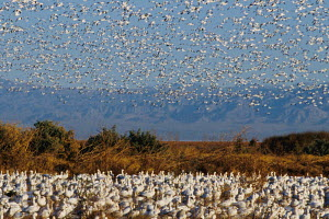 Snow Geese (Chen caerulescens) and Ross's Geese (Chen / Anser rossii) resting and flying at California's Sonny Bono Salton Sea National Wildlife Refuge during their winter migration along the Pacific...  -  Jenny E. Ross