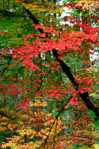 Pacific Dogwood (Cornus nuttallii) grove in autumn. Foothills of the Sierra Nevada Mountains, Tahoe National Forest, California, USA, October. - Jenny E. Ross