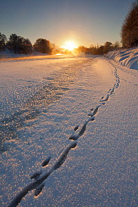 European river otter (Lutra lutra) footprints in snow on the edge of the frozen River Spey, at sunset, Cairngorms NP, Scotland, UK, December 2010 - Mark Hamblin / 2020VISION