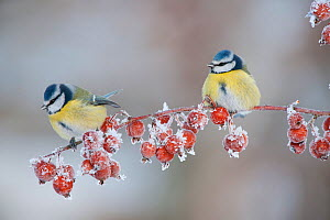 Two Blue tit (Parus caeruleus) adults in winter, perched on twig with frozen crab apples, Scotland, UK, December 2010  -  Mark Hamblin / 2020VISION