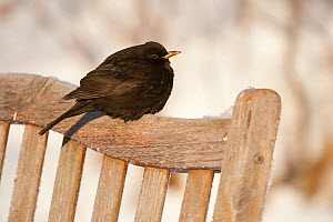 Male Blackbird (Turdus merula) perched on garden seat in winter, with feathers ruffled to insulate against cold, Scotland, UK, December 2010 - Mark Hamblin / 2020VISION