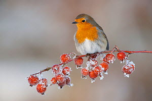 Adult Robin (Erithacus rubecula) in winter, perched on twig with frozen crab apples, Scotland, UK, December 2010. Did you know? The association of Robins with Christmas came from the postmen, known as... - Mark Hamblin / 2020VISION
