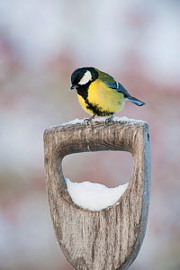 Adult Great tit (Parus major) perched on spade handle in the snow in winter, Scotland, UK, December 2010  -  Mark Hamblin / 2020VISION
