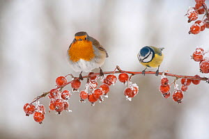 Adult Robin (Erithacus rubecula) and adult Blue tit (Parus caeruleus) in winter, perched on twig with frozen crab apples, Scotland, UK, December 2010 - Mark Hamblin / 2020VISION