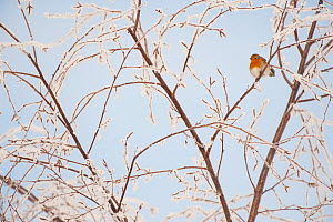 Adult Robin (Erithacus rubecula) perched in frosty tree in winter, Scotland, UK, December 2010 - Mark Hamblin / 2020VISION