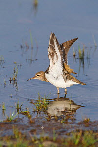Common sandpiper (Actitis hypoleucos) adult stretching its wings on edge of loch, Scotland, UK, May 2010  -  Mark Hamblin / 2020VISION