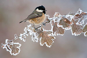 Coal tit (Periparus ater) adult perched in winter, Scotland, UK, December. Did you know? Coal tits keep in contact with their flock when searching for food, with constant 'dee' or 'seesee' calls.  -  Mark Hamblin / 2020VISION