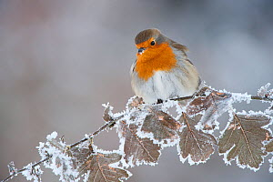 Robin (Erithacus rubecula) adult perched in winter with feather fluffed up, Scotland, UK, December - Mark Hamblin / 2020VISION