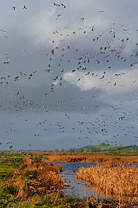 Flocks of European wigeon (Anas penelope), Common teal (Anas crecca) and Lapwing (Vanellus vanellus) flying over flooded marshes in winter, Greylake RSPB reserve, Somerset Levels, UK, December  -  Nick Upton / 2020VISION