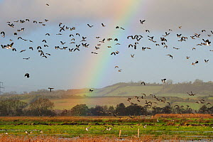 Lapwings (Vanellus vanellus), Golden plover (Pluvialis apricaria), Wigeon (Anas penelope) and Common Teal (Anas crecca) flying over flooded marshes in winter, with a rainbow in the background, Greylak...  -  Nick Upton / 2020VISION
