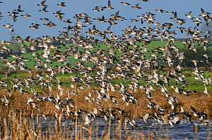 Dense flock of Wigeon (Anas penelope) and Common Teal (Anas crecca) flying over flooded marshes in winter and landing on water fringed by Bulrushes (Typha latifolia), Greylake RSPB reserve, Somerset L... - Nick Upton / 2020VISION