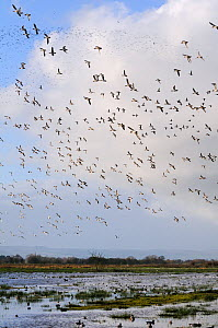 Dense flocks of European wigeon (Anas penelope), Common teal (Anas crecca) and Lapwings (Vanellus vanellus) flying over and resting on flooded marshes in winter, Greylake RSPB reserve, Somerset Levels... - Nick Upton / 2020VISION