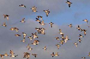 Flock of Wigeon (Anas penelope) and a few Common Teal (Anas crecca) flying overhead in winter, Greylake RSPB reserve, Somerset Levels, UK, December - Nick Upton / 2020VISION