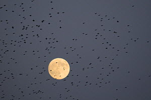 Flock of Starlings (Sturnus vulgaris) flying past an almost full moon on their way to a night time roost, Shapwick Heath NNR, Somerset Levels, UK, December - Nick Upton / 2020VISION