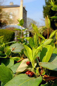 Three Seven-spot ladybirds (Coccinnella septempunctata) emerging from hibernation among Japanese honeysuckle (Lonicera japonica) leaves in garden, with young female Nursery web spider (Pisaura mirabil...  -  Nick Upton / 2020VISION