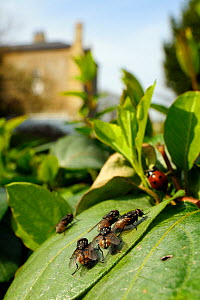Six male Autumn House flies (Musca autumnalis) basking in the sun on Japanese Honeysuckle (Lonicera japonica) leaf in a garden, waiting for females to fly past, with Seven-spot ladybird (Coccinella se...  -  Nick Upton / 2020VISION