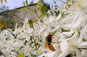 Queen Hornet (Vespa crabro) feeding on Clematis flower (Clematis almondii) in a garden, Wiltshire, UK, April . Property released.  -  Nick Upton / 2020VISION