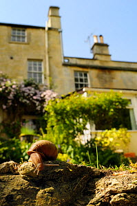 Common snail (Helix aspersa) crawling over edge of a low retaining wall in a garden, with house in the background, Wiltshire, England, UK, April . Property released. - Nick Upton / 2020VISION