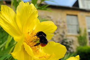 Queen Red tailed bumblebee (Bombus lapidarius) feeding on Yellow tree peony (Paeonia ludlowii) flower in garden, with house in the background, Wiltshire, England, UK, April . Property released. Did yo...  -  Nick Upton / 2020VISION