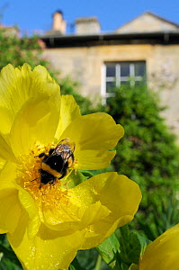 Queen White tailed bumblebee (Bombus lucorum) feeding on Yellow tree peony (Paeonia ludlowii) flower in  garden, with house in the background, Wiltshire, England, UK, April . Property released.  -  Nick Upton / 2020VISION