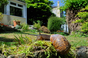 Common snail (Helix aspersa) crawling over mossy wall in a garden with house in the background, Wiltshire, England, UK, April. 2020VISION Exhibition. 2020VISION Book Plate. . Property released. - Nick Upton / 2020VISION